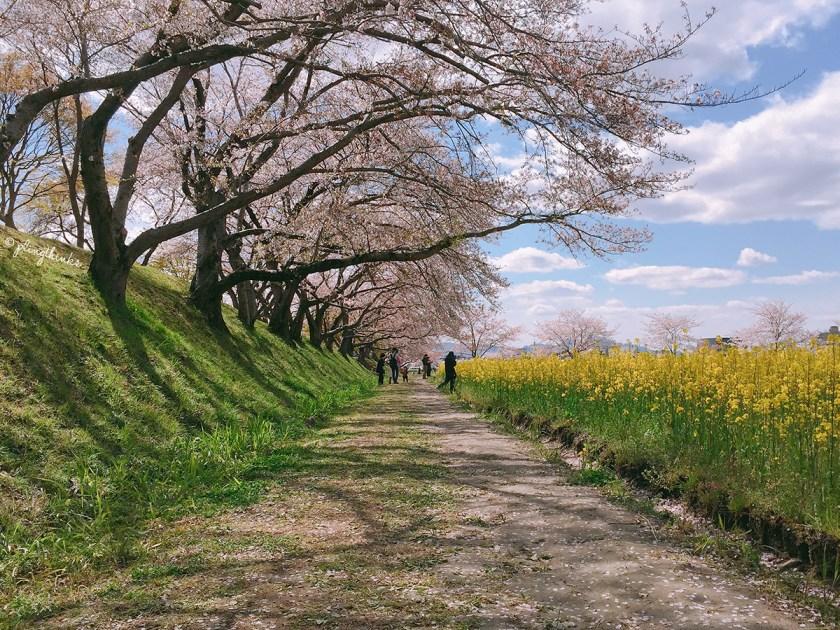 Fujiwara Palace - Spring Japan Nara Cherry Blossom Trees