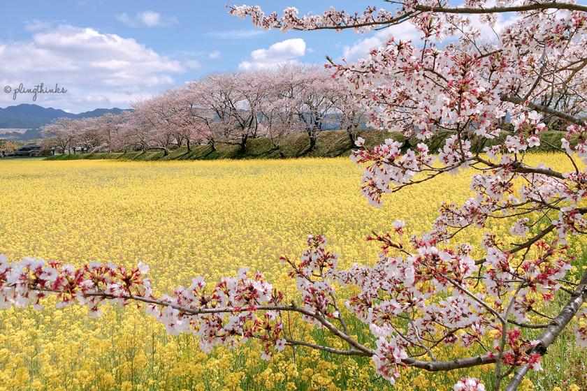 Cherry Blossoms Nara Must See - Fujiwara Palace Ruins Rapeseed Flower Field
