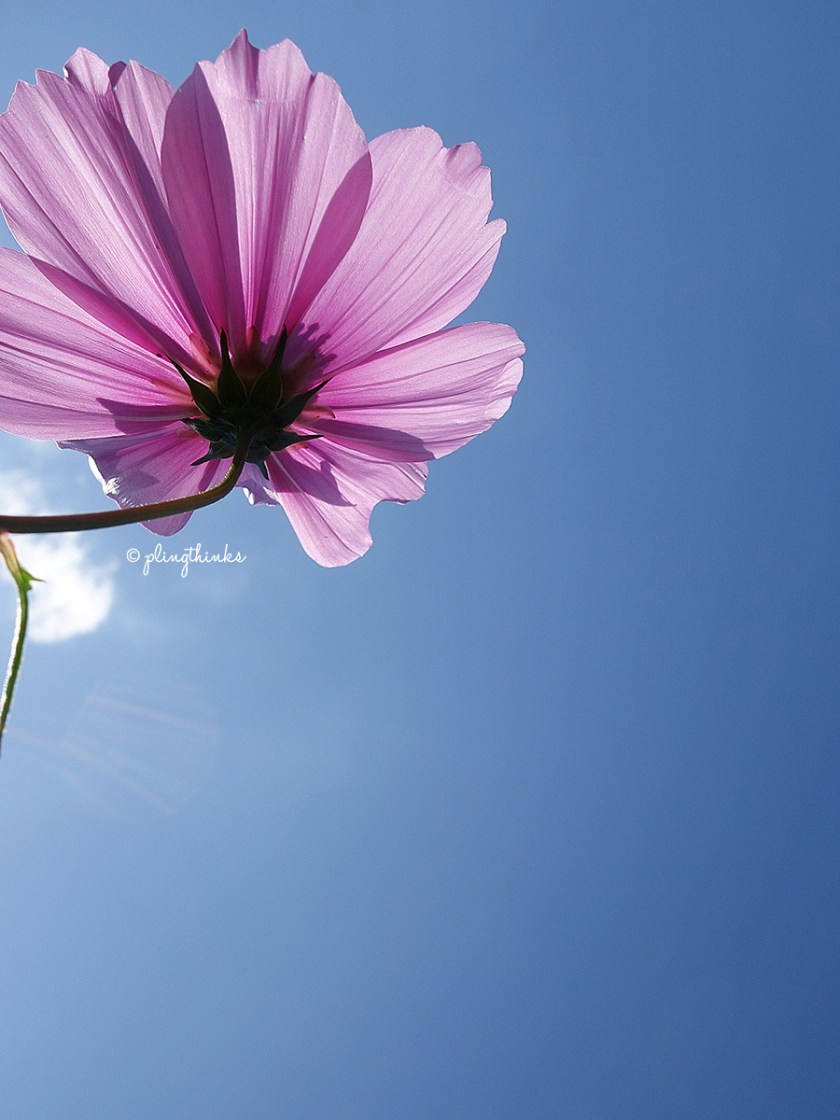 Cosmo Flower - Kobe Nunobiki Herb Garden