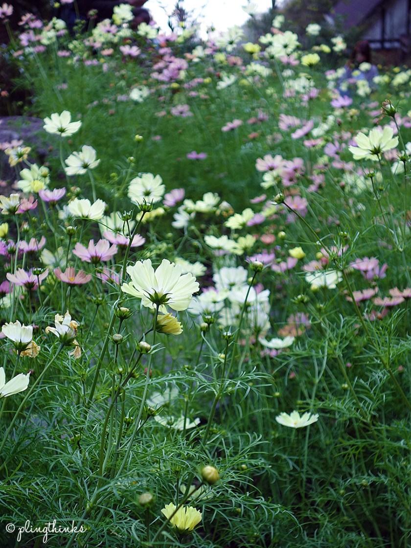 Cosmos Field Autumn - Kobe Nunobiki Herb Garden