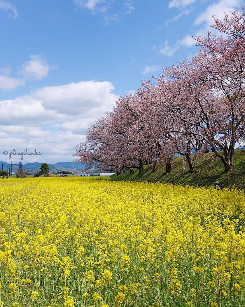 Nara Cherry Blossoms Season - Spring in Fujiawara Palace Ruins