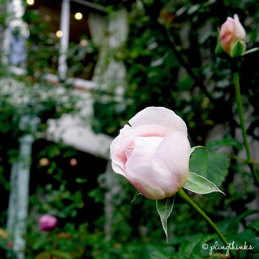 Pink Rose - Rose Garden in Nunobiki Herb Gardens Kobe Japan