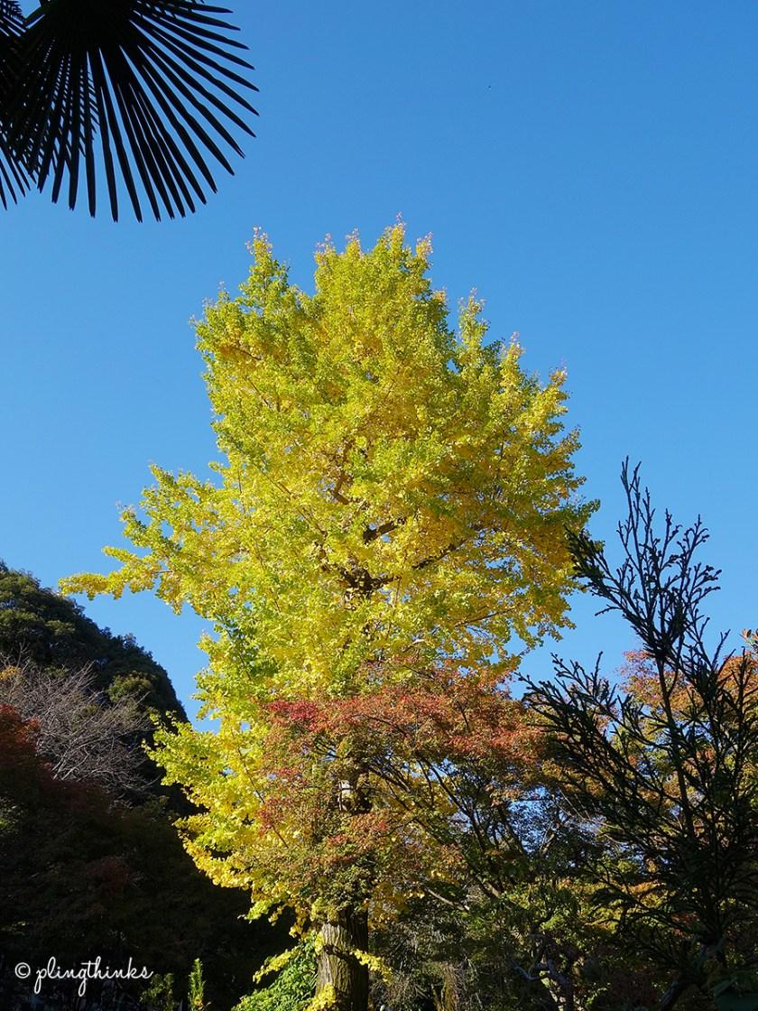 Gingko Tree Jojakkoji - Kyoto Arashiyama