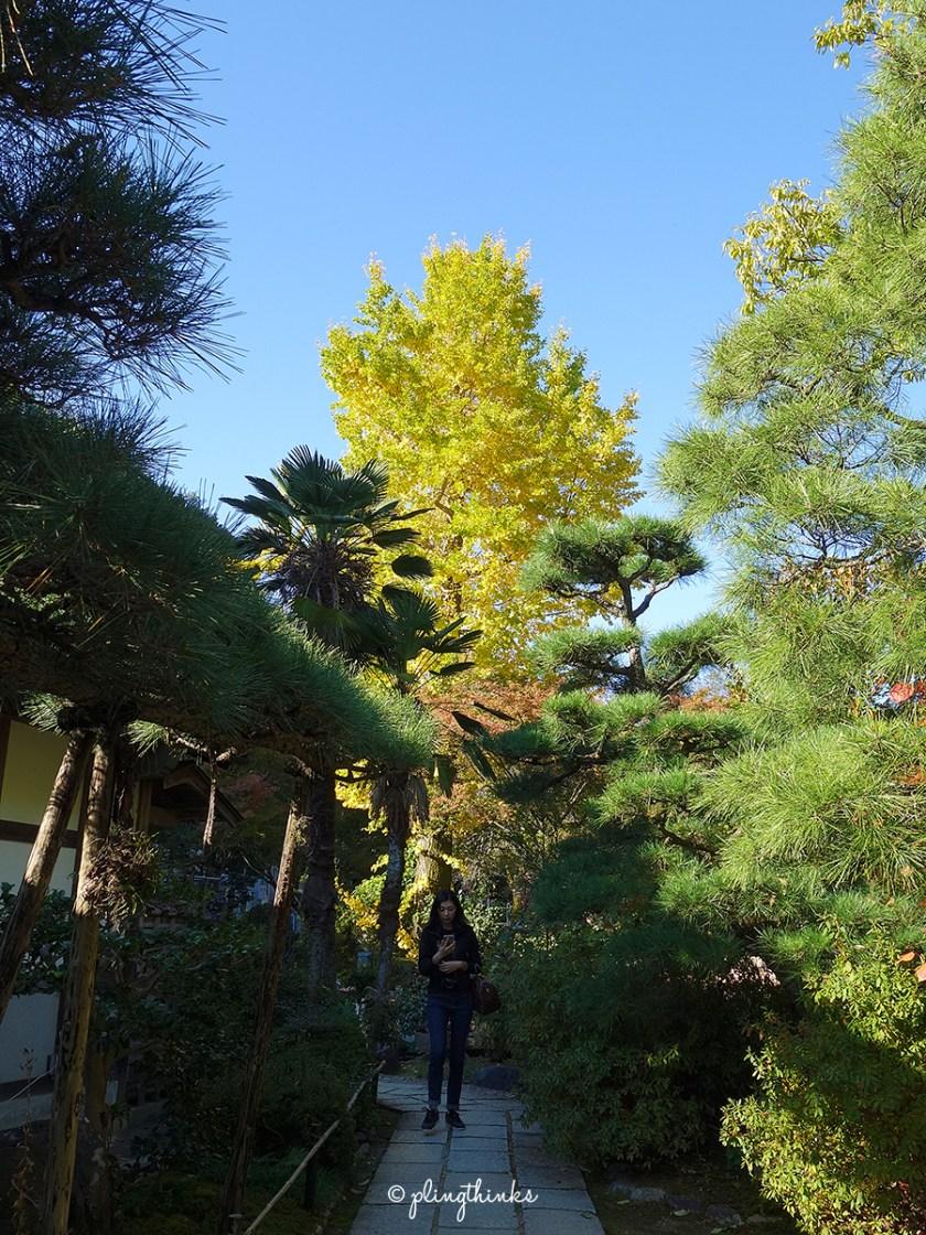Jojakko-ji Temple Japanese Gingko Tree - Kyoto Arashiyama