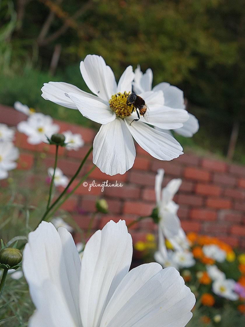 Kobe Nunobiki Herb Garden - White Cosmo Bee