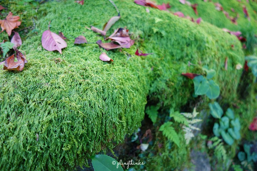 Moss at Jojakko-ji Temple - Kyoto Japan
