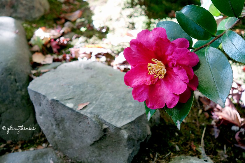Tsubaki Camellia Japonica - Jojakko-ji Kyoto
