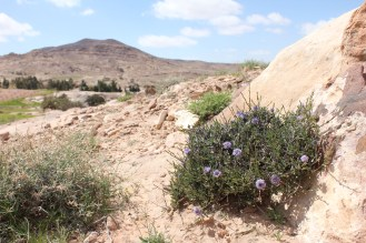 Globularia arabica in Dana, Jordan