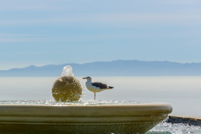 Sea gull driinks from a fountain near the Point Vicente Lighthouse. Catalina Island is in the background