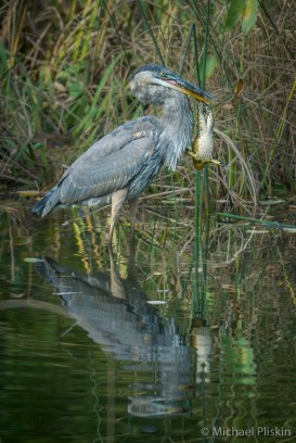 Blue Heron tries to figure out how to eat the bullfrog he caught at Mt. Auburn Cemetary in Cambridge, MA