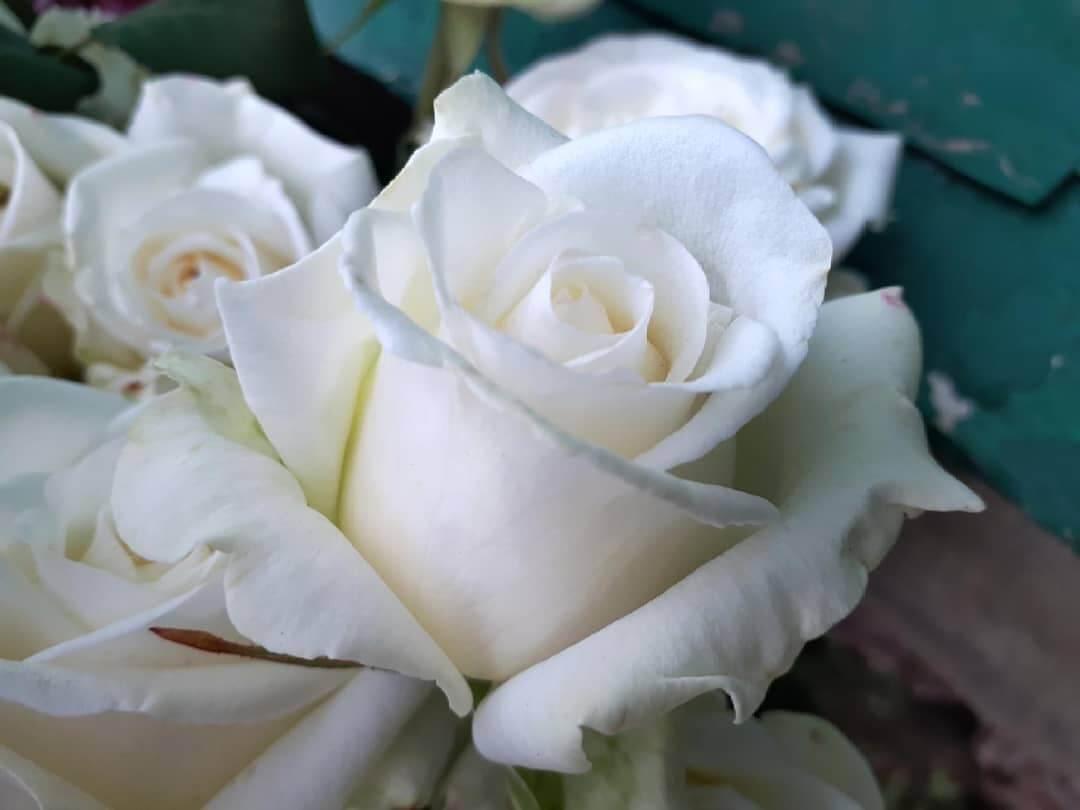 Сорта роз — Анастасия. Описание розы парад и уход за ней Посадка и уход
