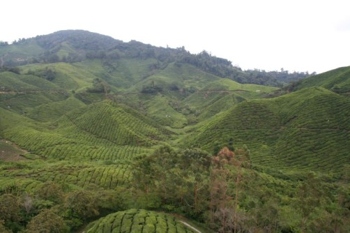 boh-tea-cameron-highlands-4