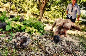 cane ricerca tartufo yumbria