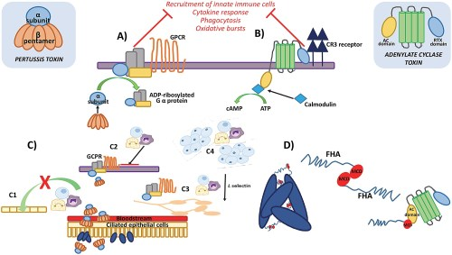 small resolution of pertussis cell diagram wiring diagram compilation