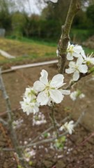 Apple tree number one, the first tree to flower. This might be an eating apple, but who can tell?