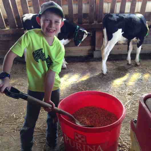 making feed for fair calves