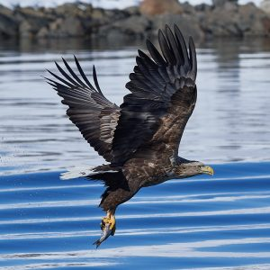 a white-tailed eagle flies over water