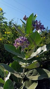 Calotropis_gigantea_plant - Akova-Madar - Poisonous Plant