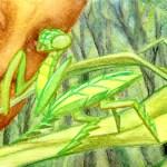 Grass Mantis postcard