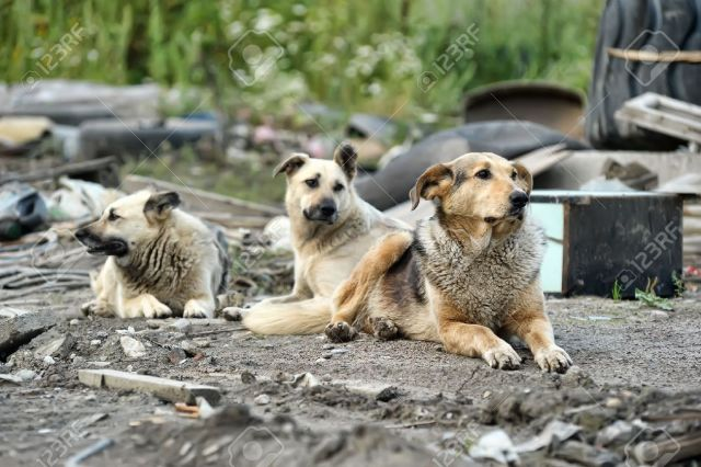 15000039-pack-of-stray-dogs-Stock-Photo-dog