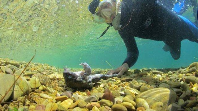 ranas-titicaca