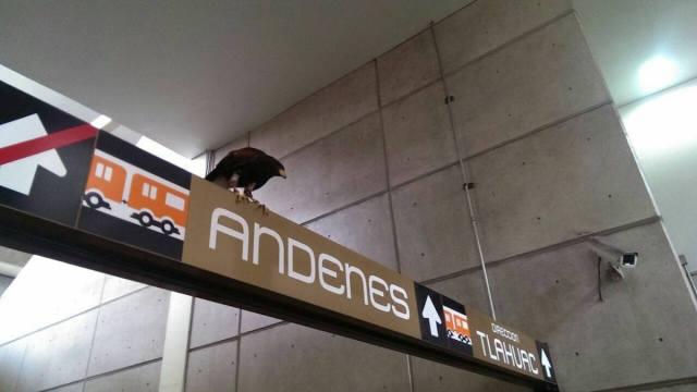 Un águila se posó en metro Nopalera, como en mito azteca.