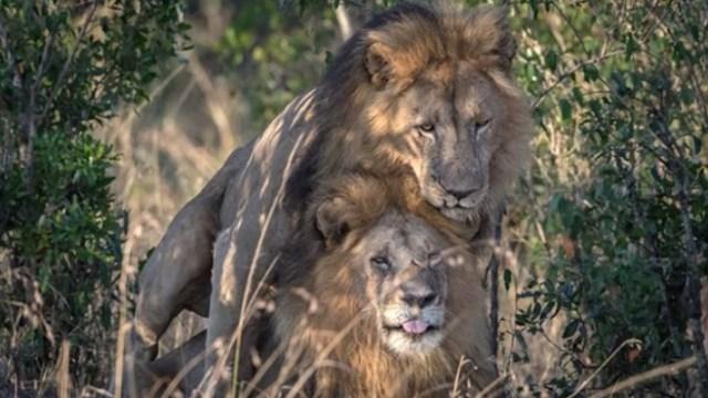 leones gay kenia censura fotografias demoniaco
