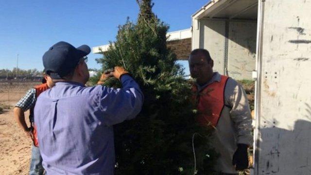 México regresa árboles navideños a Estados Unidos