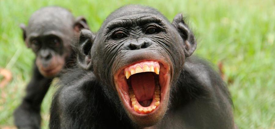 Bonobos, primates más cercanos al humano, prefieren las conductas abusivas y acosadoras