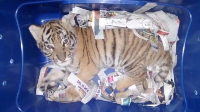 Encuentran cachorro de tigre en paquetería; iba enviado a Querétaro