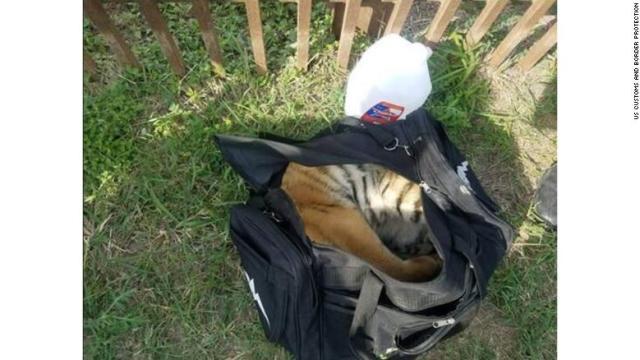 Policía fronteriza encuentra cachorro de tigre en frontera con México