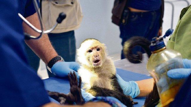 Mejora salud del mono capuchino