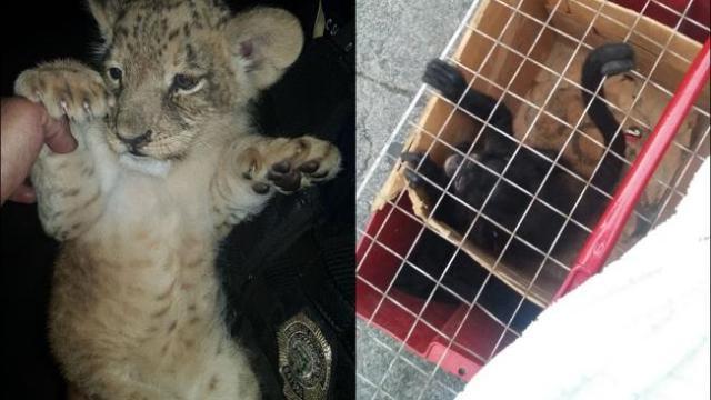 Otra de animalitosbebés: rescatan mono araña y tigre en Tepito