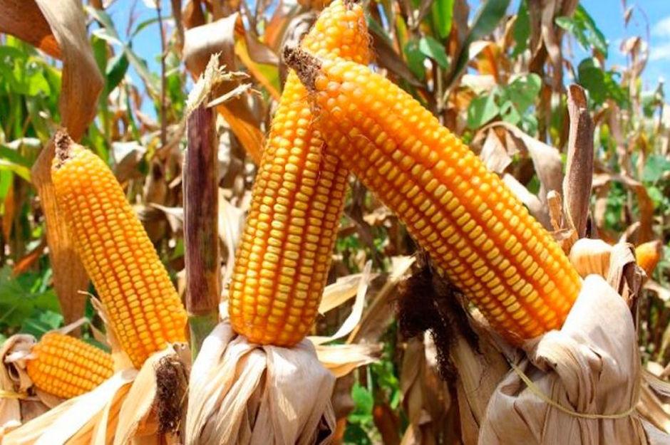 Precios de garantía maíz, frijol y leche AMLO