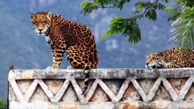 Jaguares, Tren Maya, Riesgo, AmbientalJaguares, Tren Maya, Riesgo, Ambiental
