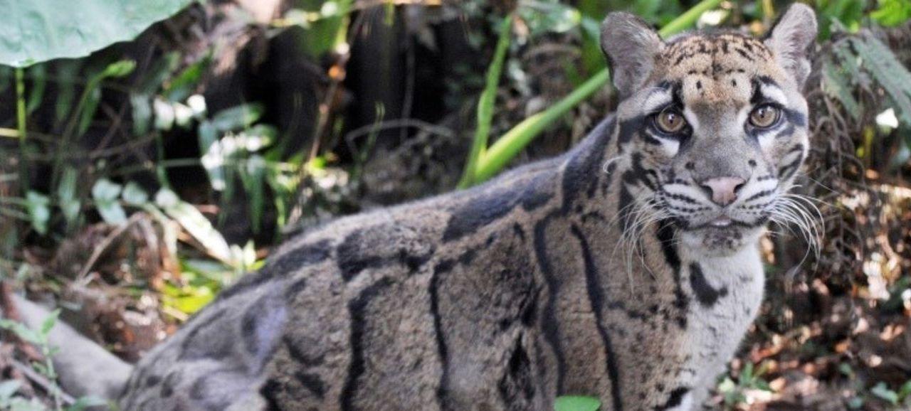 Reaparece leopardo que se creía extinto, en Taiwan