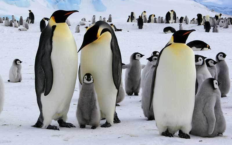 Calentamiento global mata a los pingüinos