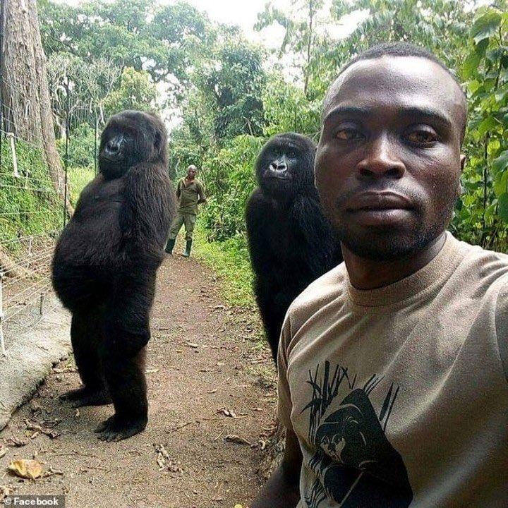 gorila, selfie