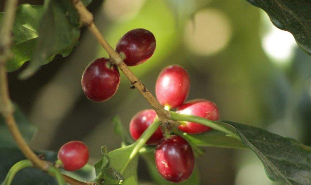 Muerte del café mexicano es culpa de los consumidores.
