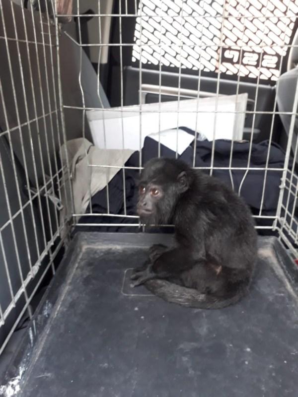 Rescatan a un mono aullador en Iztapalapa