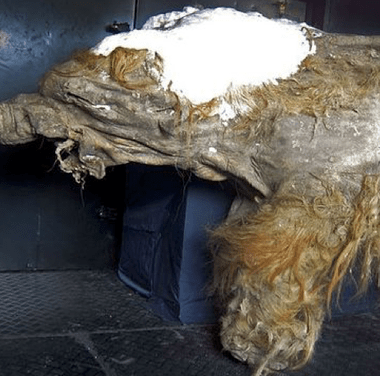 Reviven células de mamut de hace más de 28 mil años