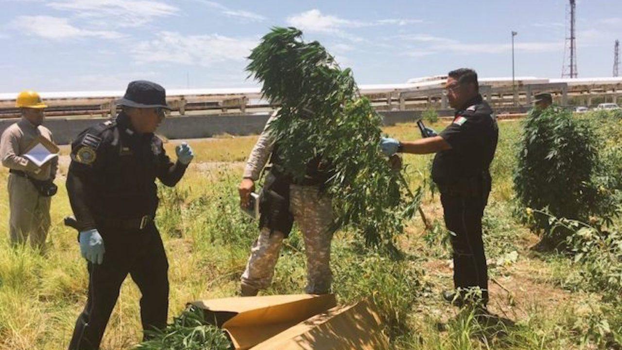 Ejército encuentra plantío de marihuana en refinería de PEMEX