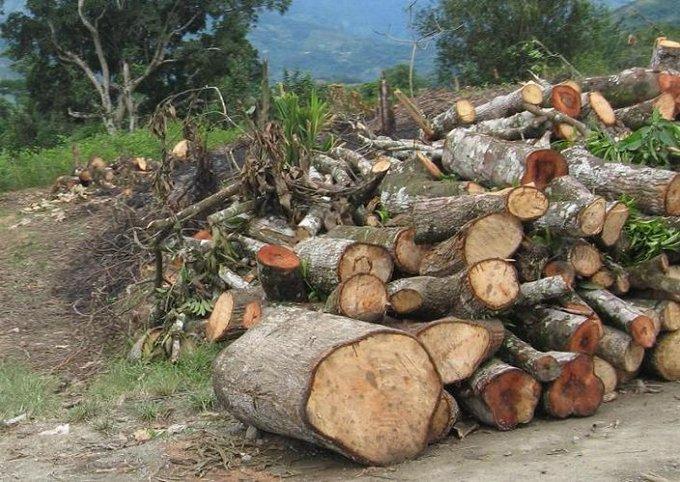Talan árboles en Veracruz para obtener apoyo Sembrando Vida