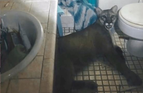 Puma se metió a casa de una pareja en California
