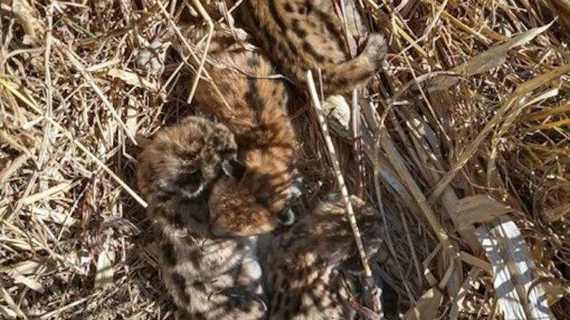 Un campesino encontró cuatro pumas bebé