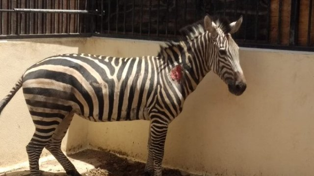 Cebra de Zoológico de San Juan de Aragón sufre maltrato