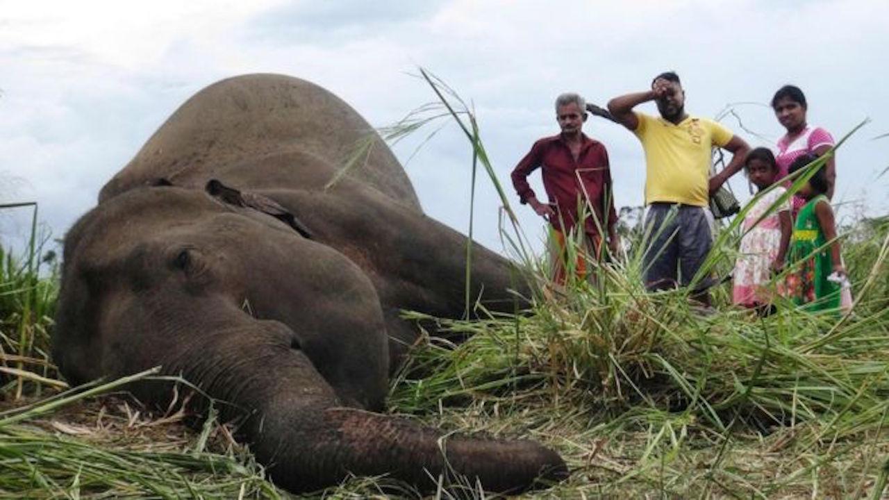 Envenenan a elefantes en Sri Lanka por destruir cultivos