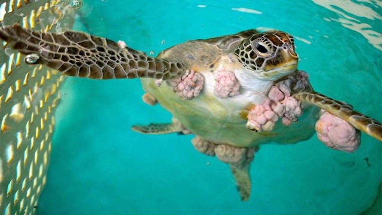 En Sinaloa hallaron tortugas con tumores provocados por metales pesados