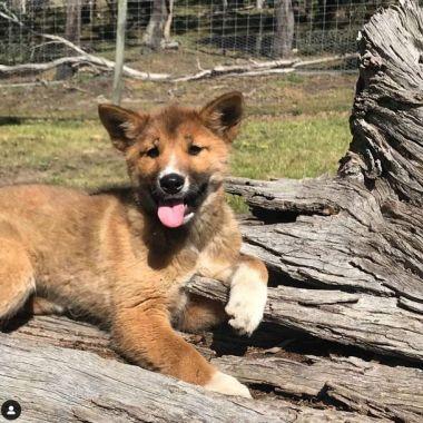 1/11/19 Dingo-cachorro-peligro-extinción/ cachorro