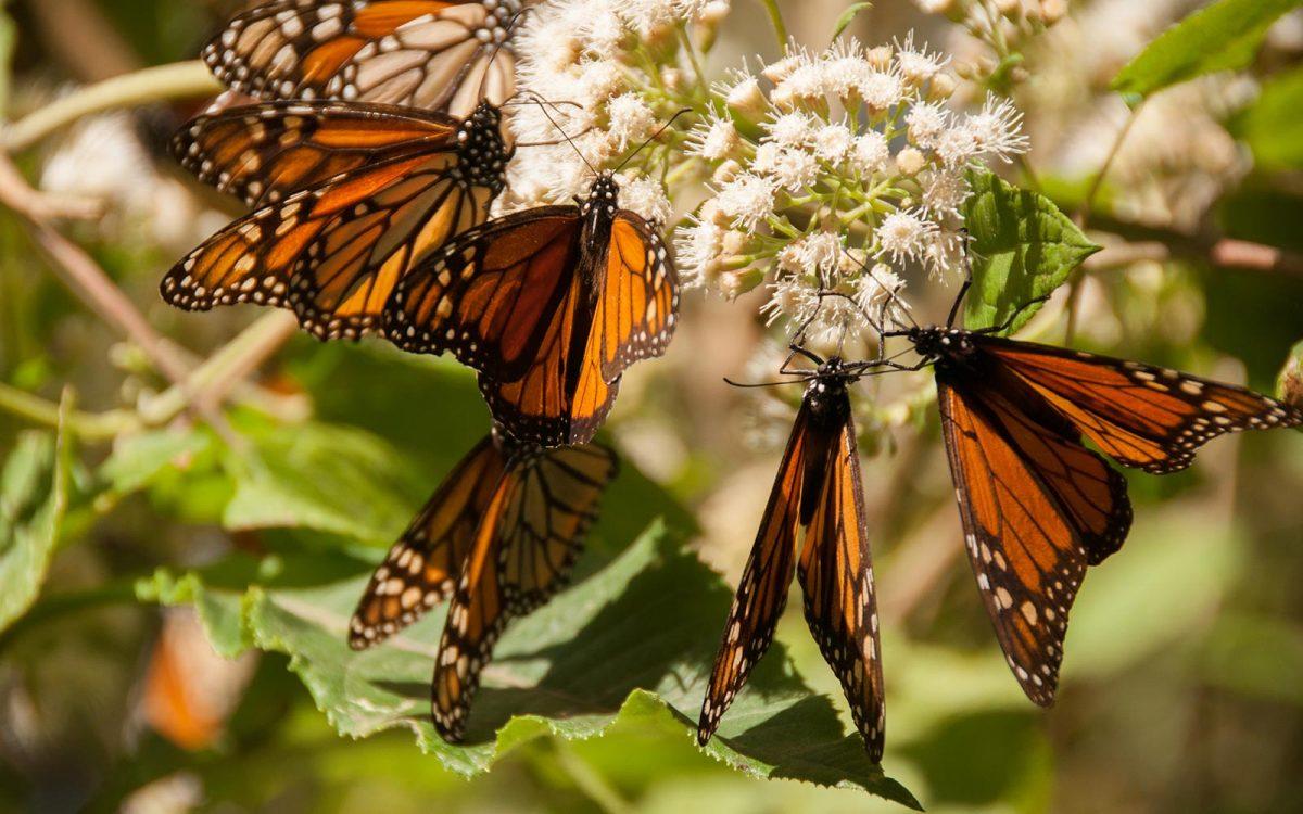 Tala ilegal en zona de mariposas monarca.
